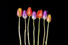Sette hanno colorato le teste del garofano messe su una terra della parte posteriore del nero Fotografia Stock