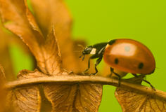 Sette-Ladybird - septempunctata di Coccinella Fotografia Stock