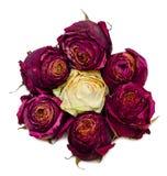 Sette rose rosse secche Fotografia Stock Libera da Diritti