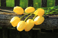 Sette tulipani gialli Mazzo dei tulipani Fotografie Stock