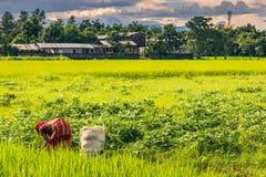 2 settembre 2014 - agricoltore in Sauraha, Nepal Immagini Stock