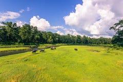 4 settembre 2014 - gregge delle mucche nel parco nazionale di Chitwan, Nepa Fotografia Stock