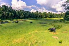 4 settembre 2014 - gregge delle mucche nel parco nazionale di Chitwan, Nepa Fotografia Stock Libera da Diritti