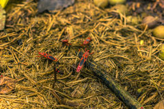 3 settembre 2014 - insetto rosso del cotone nel parco nazionale di Chitwan, Ne Immagine Stock