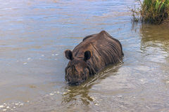 3 settembre 2014 - rinoceronte indiano che bagna nel PA nazionale di Chitwan Fotografia Stock