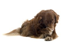 Setter. A Brown setter licking his foot stock photos