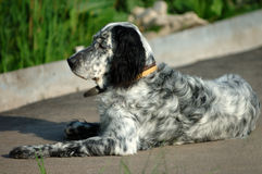 Setter. Hunting dog, on asphalt royalty free stock images
