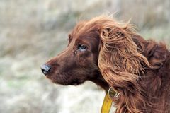 Setter. Brown haired dog looking ahead Royalty Free Stock Photography
