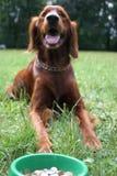 Setter (cão) com dinheiro Imagem de Stock
