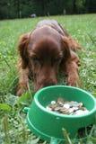 Setter (cão) com dinheiro Fotos de Stock Royalty Free