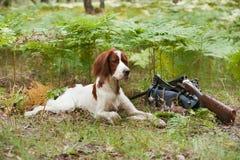 Setter com pássaros e arma da caça Fotografia de Stock Royalty Free