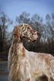 Setter do inglês do animal de estimação do cão Fotografia de Stock