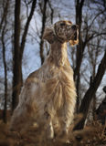 Setter do inglês do animal de estimação do cão Imagem de Stock Royalty Free