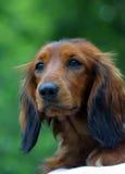 Setter dog. On green background stock photo