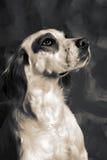 Setter dog Royalty Free Stock Photo