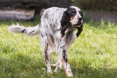 Setter dog breed Royalty Free Stock Photo