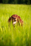 Setter dog Royalty Free Stock Images