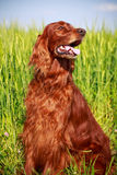 Setter dog. Irish red setter dog in nature Stock Photography