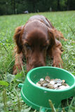 Setter (dog) with money. Setter (dog) laying in front of the bowl with money Royalty Free Stock Photos