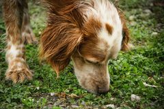 The dog is sniffing the tracks. The setter dog is sniffing the tracks royalty free stock image
