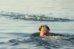 Setter dog swimming. Space for text Royalty Free Stock Photo