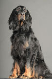 Setter. Gordon Setter dog, sitting and looking up stock photos