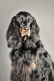 Setter Stock Photography