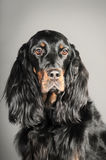 Setter. Gordon Setter dog, sitting and looking up stock photography