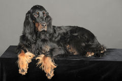 Setter Royalty Free Stock Photo