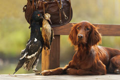 Setter with hunting bird Stock Image