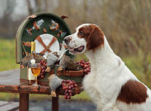 Setter with hunting bird Royalty Free Stock Image
