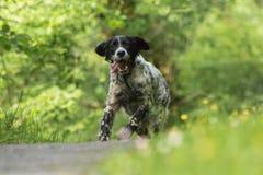 Setter inglês feliz bonito na ação que corre para a câmera Imagens de Stock