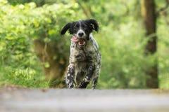 Setter inglês feliz bonito na ação que corre para a câmera Fotografia de Stock Royalty Free