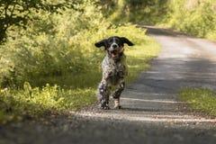 Setter inglês feliz bonito na ação que corre para a câmera Foto de Stock
