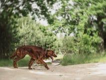 Setter irlandés rojo hermoso que corre rápidamente en bosque en día de verano soleado Imagen de archivo