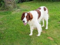 Setter irlandês do cachorro quente Imagem de Stock Royalty Free