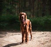 Setter irlandês vermelho bonito que corre rapidamente na floresta no dia de verão ensolarado Fotografia de Stock Royalty Free