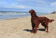 Setter Irlandese sulla spiaggia - Dunkerke del cane fotografie stock