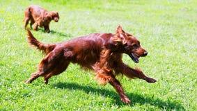 Setter irlandeses que correm na grama Fotografia de Stock