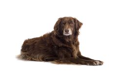 Setter Laying Stock Photography