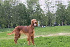 Setter look at its master Royalty Free Stock Image