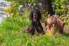 Setter near to gun and trophies Royalty Free Stock Photography