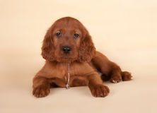 Setter puppy Royalty Free Stock Photos