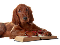 Setter puppy with glasses and book. Isolated on white Royalty Free Stock Images