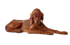 Setter puppy with glasses.  on white Stock Photography