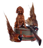 Setter puppy and two pheasants Stock Images