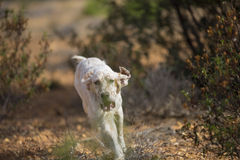 Setter running #3 Royalty Free Stock Images
