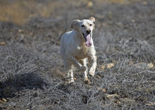 Setter running over burnt ground Stock Photo