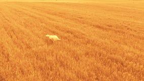 Setter running over orange stock video