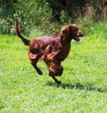 Setter running  at park Royalty Free Stock Image